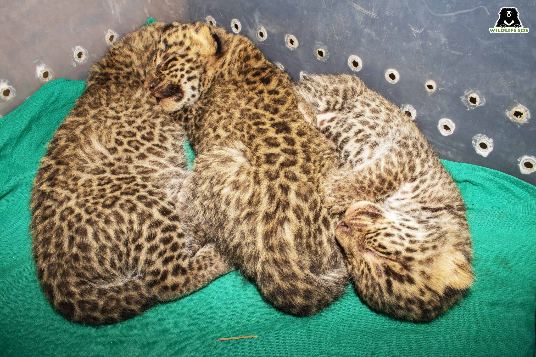 The leopard cubs were estimated to be 15 days old.Image Courtesy of Wildlife SOS