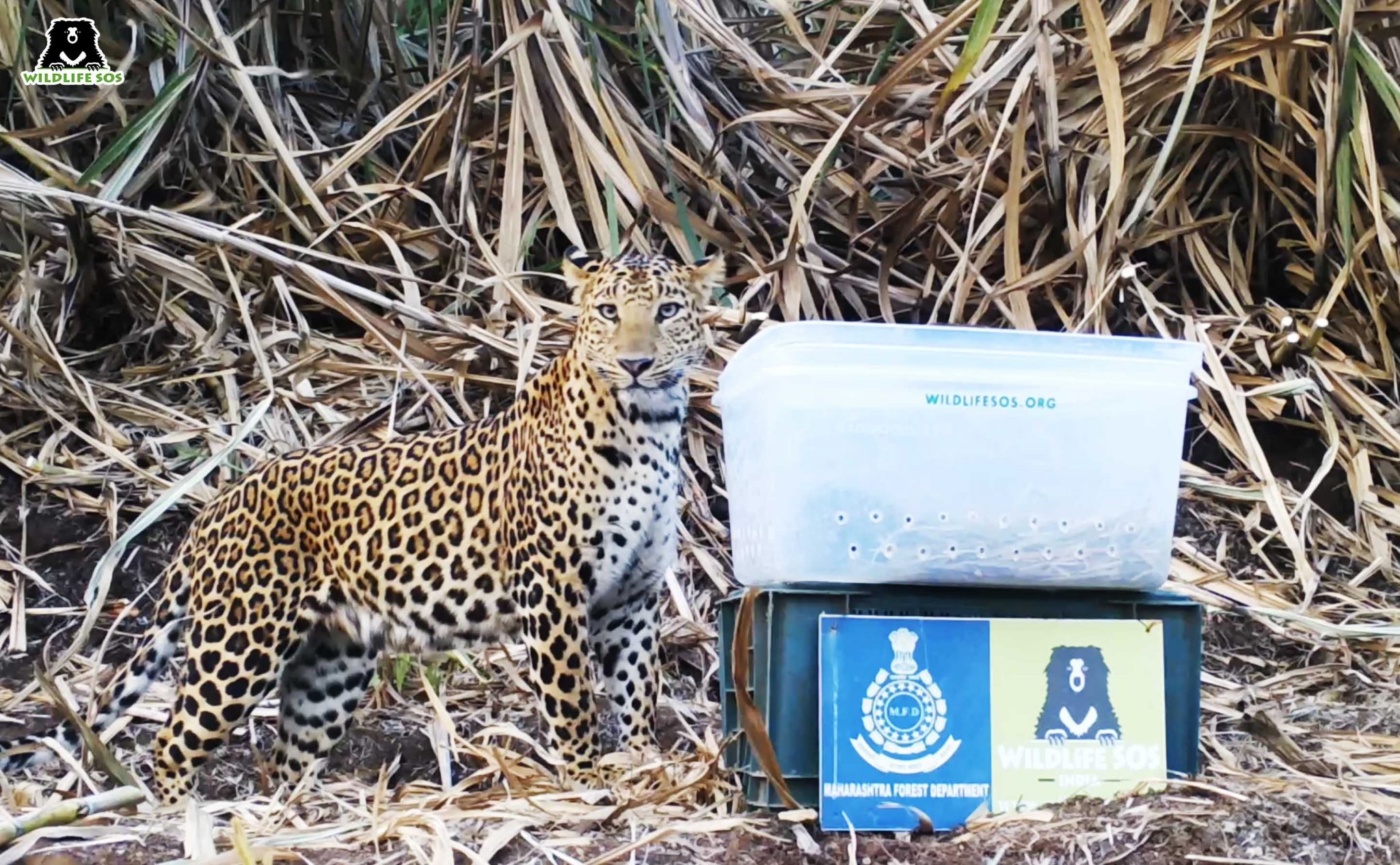 The mother leopard found her cubs within a few minutes. Image Courtesy of Wildlife SOS