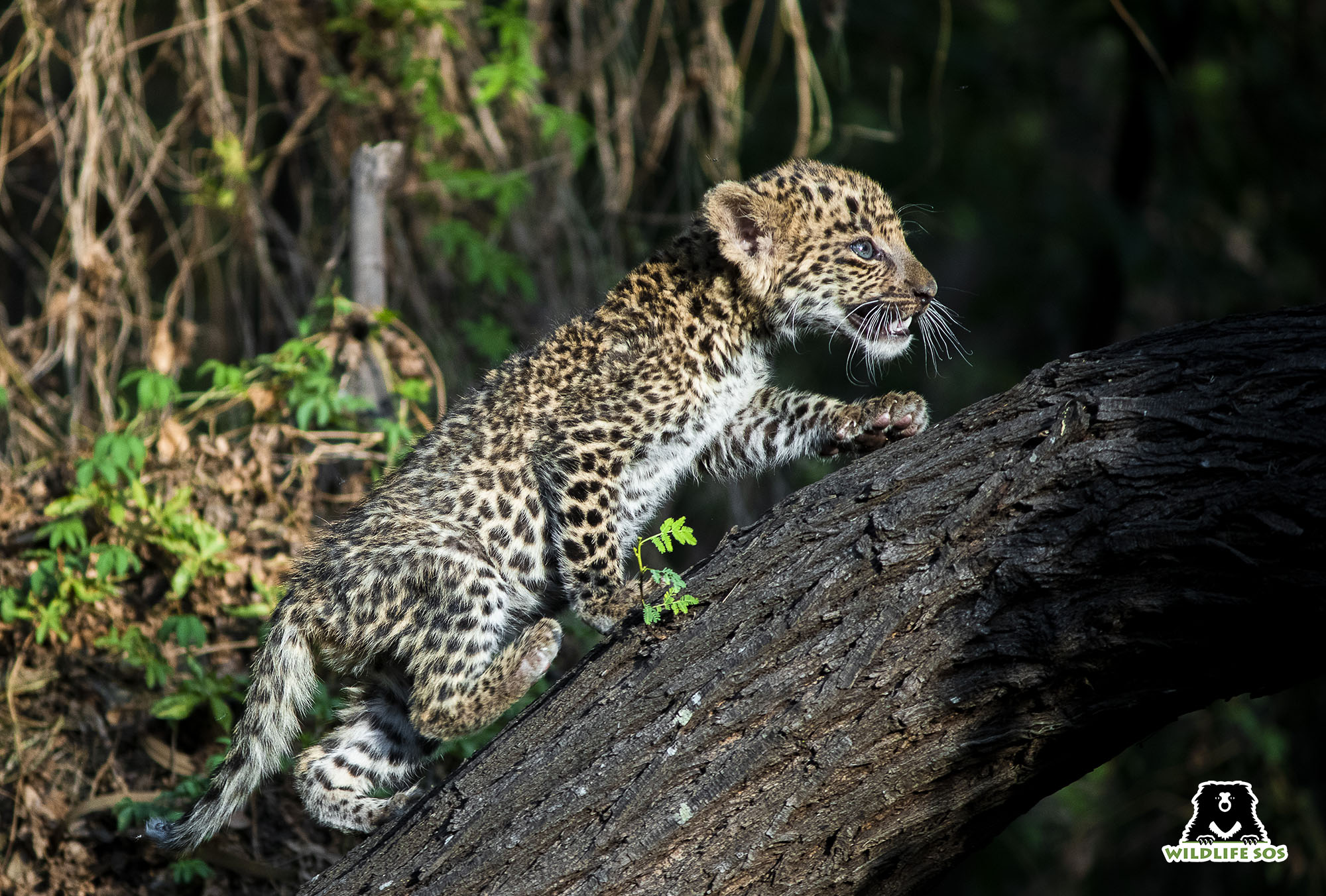 The rescued leopard cubs are provided with a near natural enviroment at the Wildlife SOS Leopard Rescue Centre. Image Courtesy of Wildlife SOS