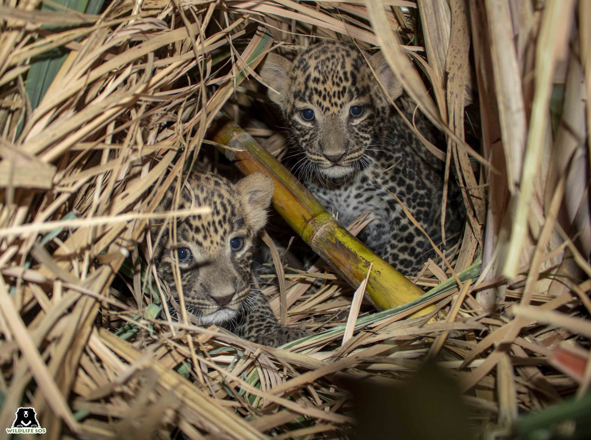 The two cubs were found in a sugarcane field in Otur Village. Image Courtesy of Wildlife SOS