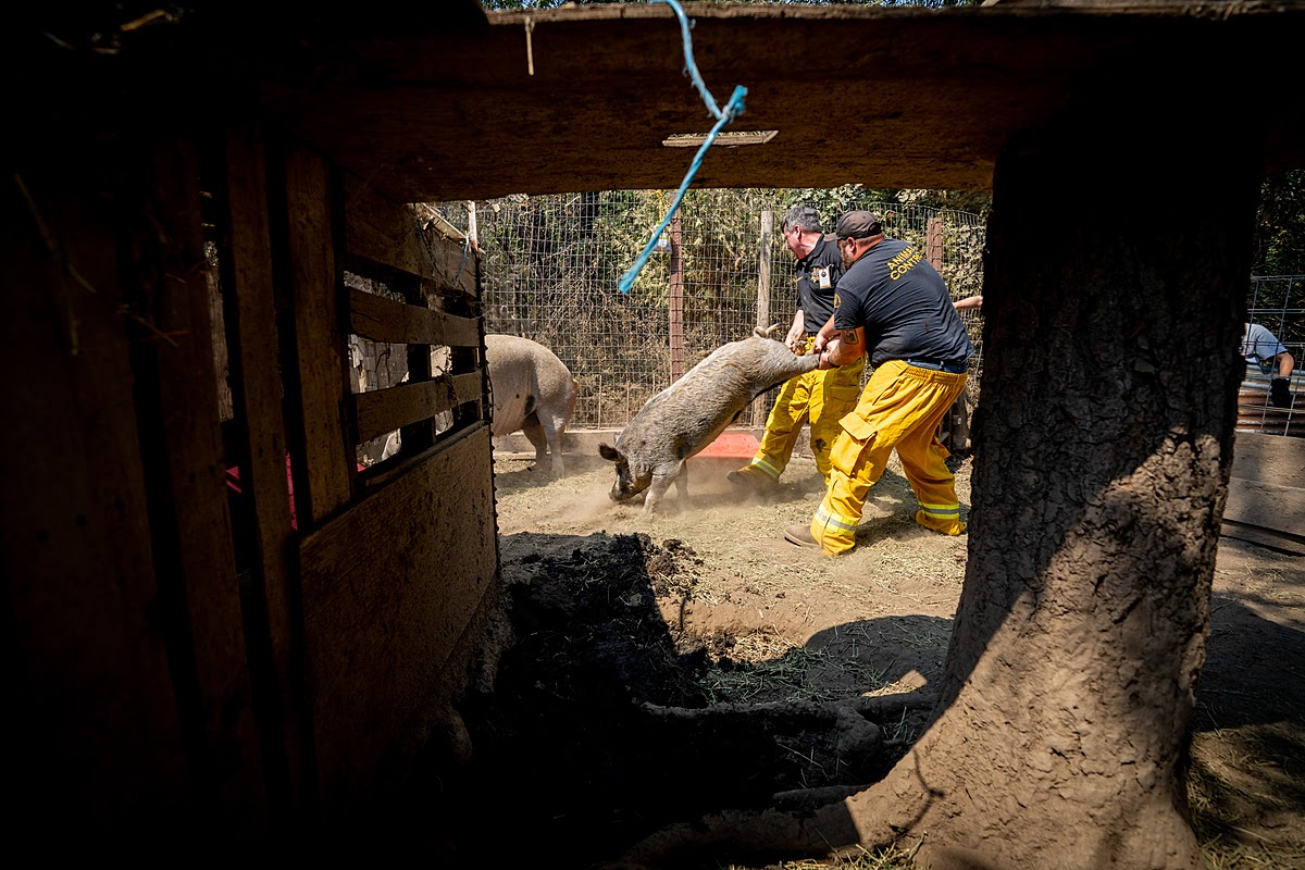 RESCUING PIGS