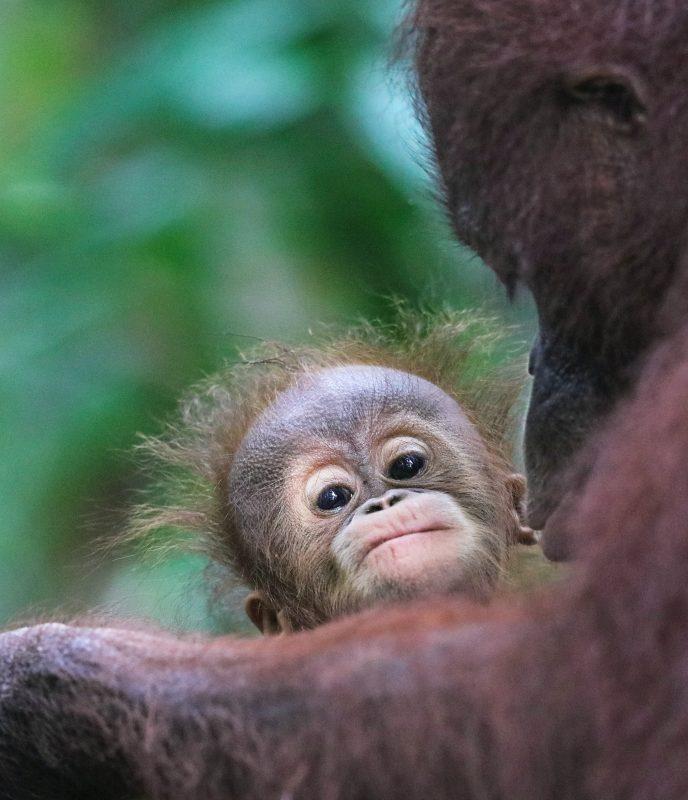 Former Animal Trafficker Describes How Orangutans are Smuggled