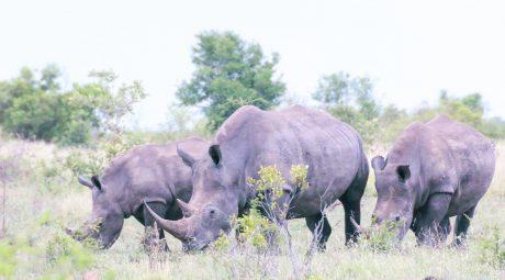 three poachers