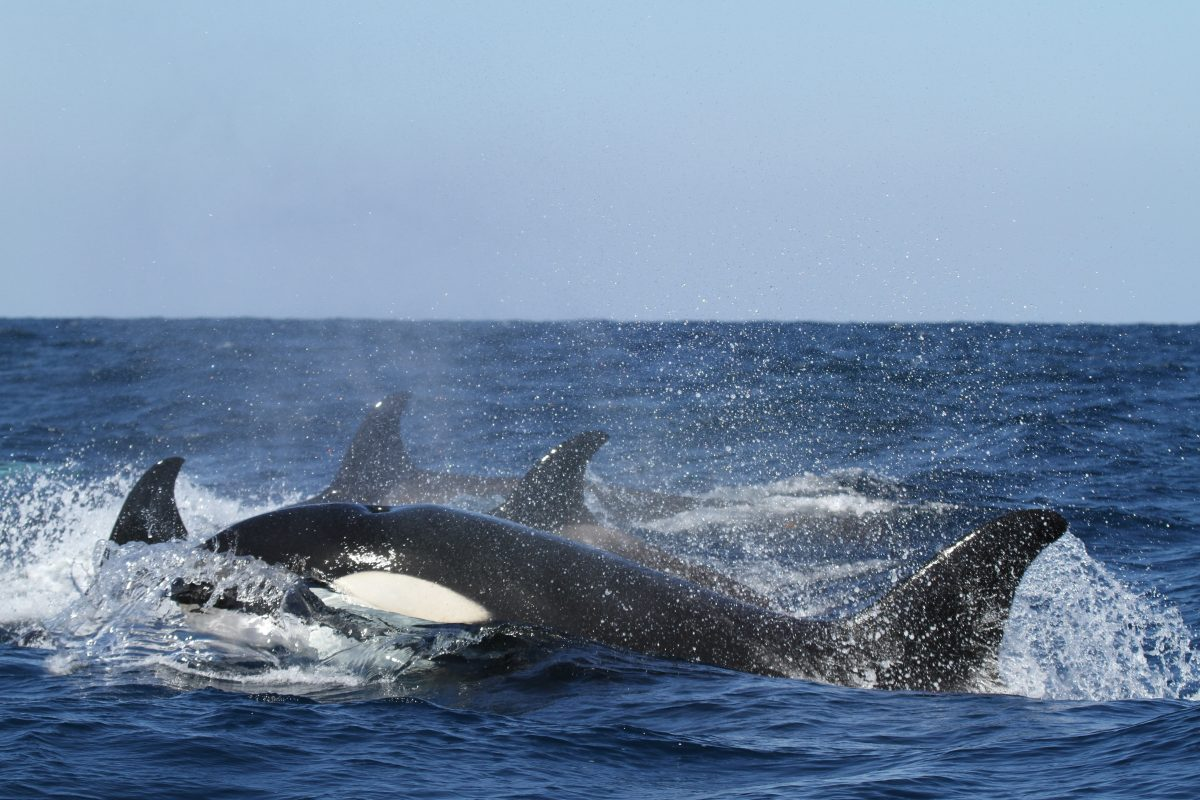Petition: Tell SeaWorld to Send its Orcas to Sanctuaries