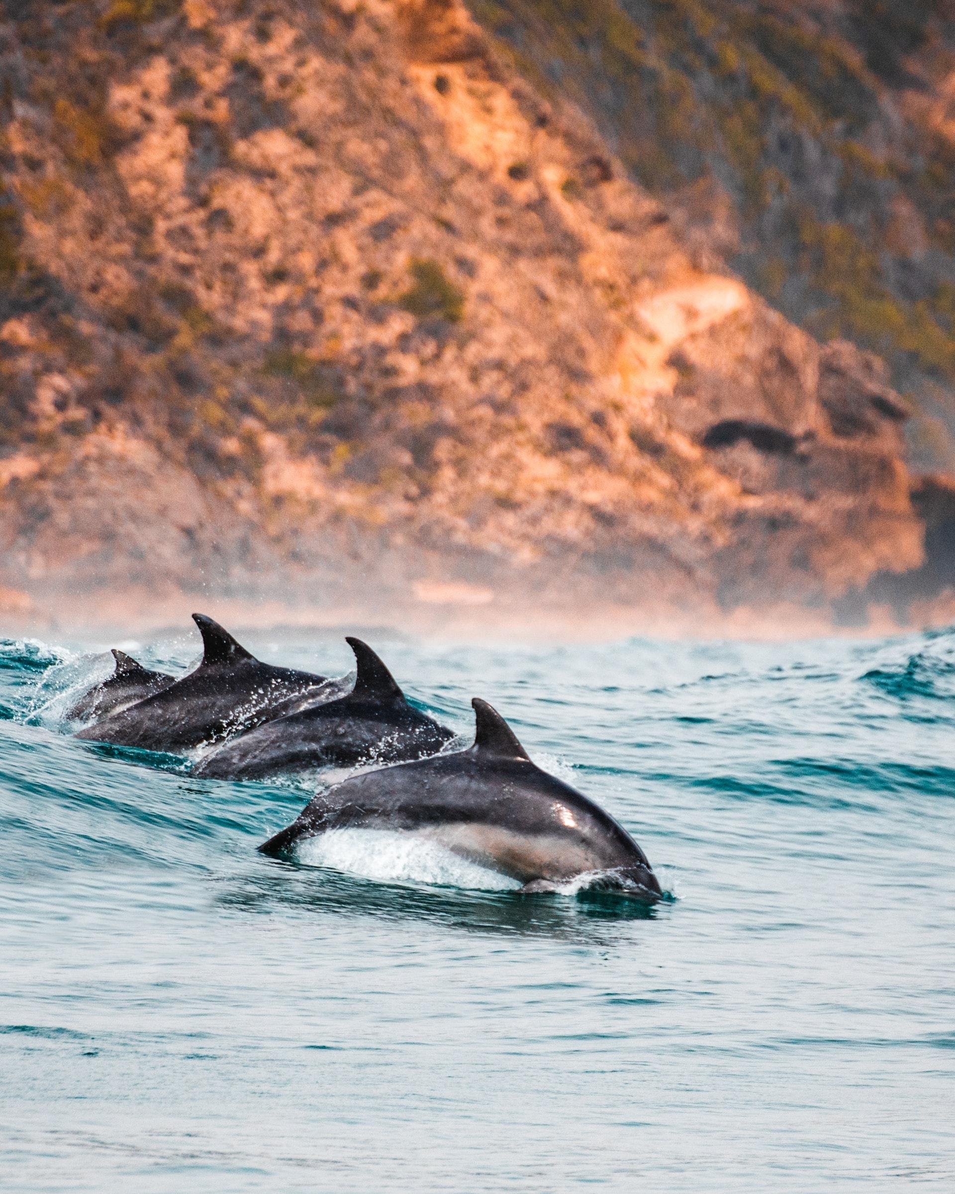 massacre of dolphins