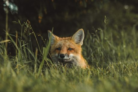 rescue foxes