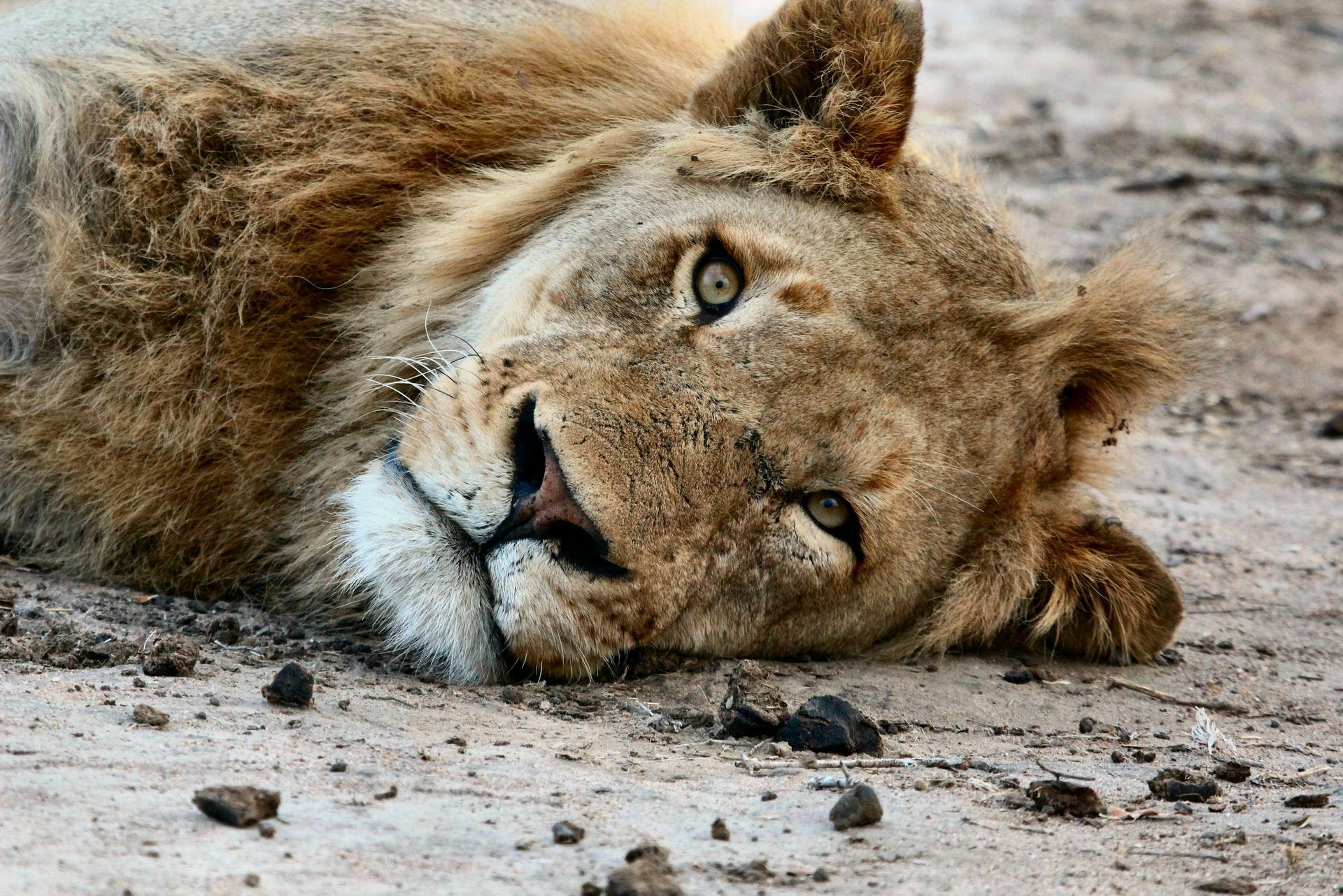 30 lions